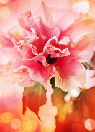 Nice background with hibiscus flowers Stock Photo - 13362946