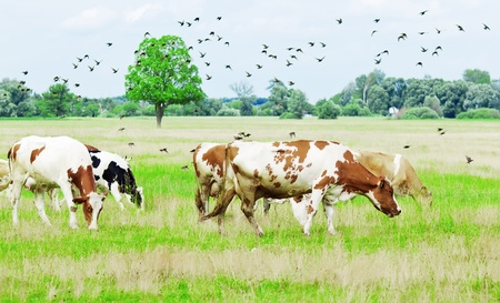 Cows grazing on meadow under blue cloudy sky  photo