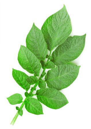spud: Potato leaf on a white background