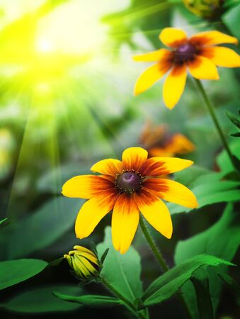 Beautiful yellow flowers with the sun. The frame for your design photo
