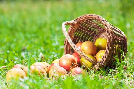 Ripe apples in a basket on the grass photo