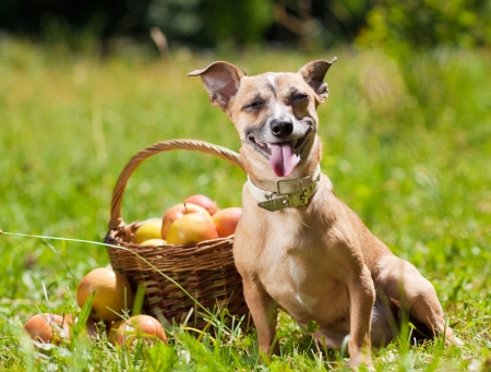 Toy Terrier in nature with a basket of apples Stock Photo - 14249515