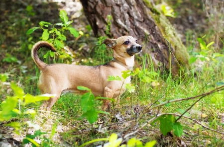 Toy Terrier in nature, in the forest Stock Photo - 14261103