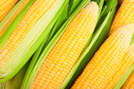 maize cultivation: corn cob between green leaves  Stock Photo