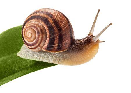 slowly: garden snail (Helix aspersa) on green leaf isolated white background  Stock Photo