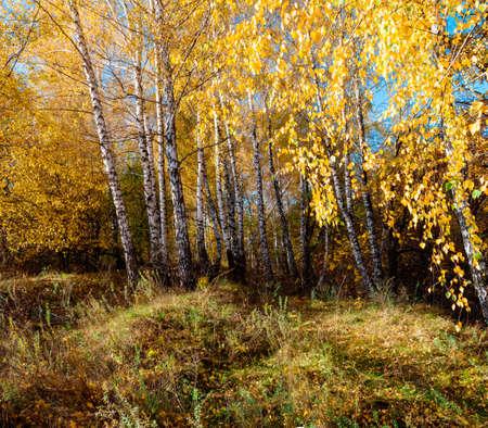 quiet scenery: Beautiful autumn landscape with birches