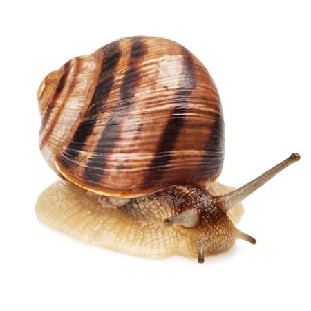 Garden Snail in front of white background photo
