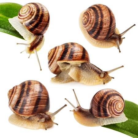 caracol: caracol de jard�n en la hoja verde aislado fondo blanco