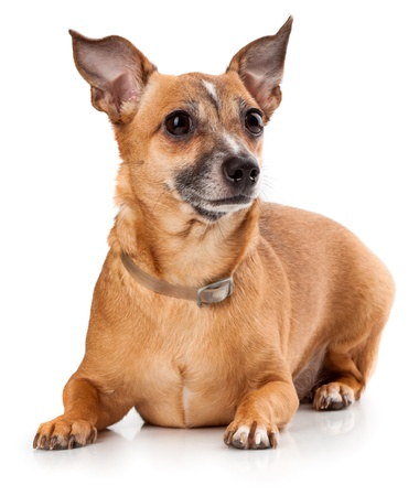 Russian toy terrier is a mini dog Stock Photo - 17320447