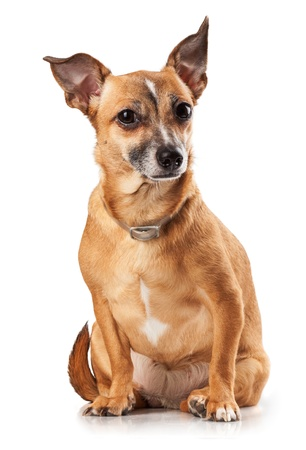 Russian toy terrier is a mini dog Stock Photo - 17320449