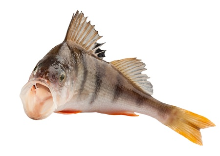 white perch: perch isolated on white background. Clipping Path