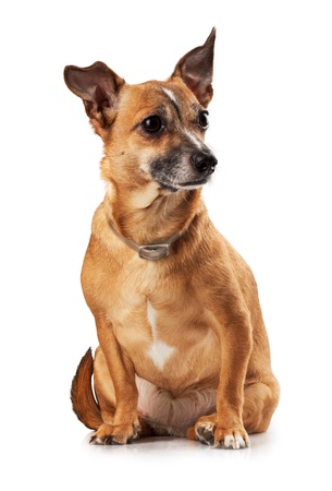 Russian toy terrier is a mini dog Stock Photo - 17320454