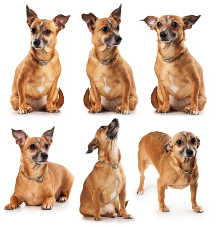 Set Russian toy terrier is a mini dogs photo