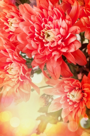 Background color for your card chrysanthemum photo