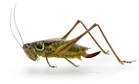 grasshoppers: Grasshopper in front of white background. Clipping Path
