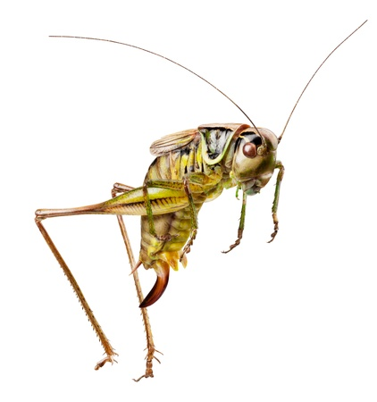 Grasshopper in front of white background. Clipping Path photo