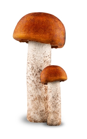 mycology: Red-capped scaber stalk with white background