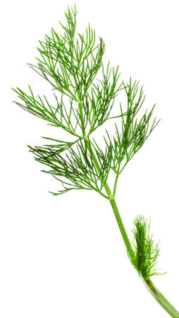 fresh dill on white background. Clipping Path photo