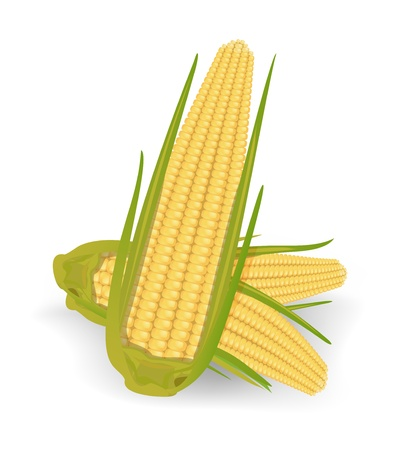 maize: corncob vector illustration isolated on white background Illustration