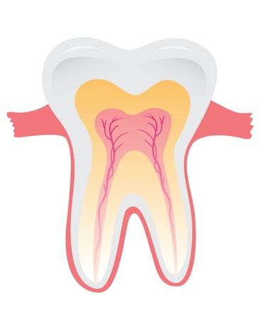 Tandweefsel. Anatomie van tanden. Vector illustratie