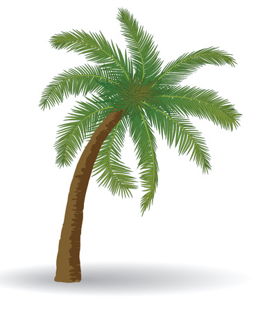 coco: Coconut palm tree on a white background