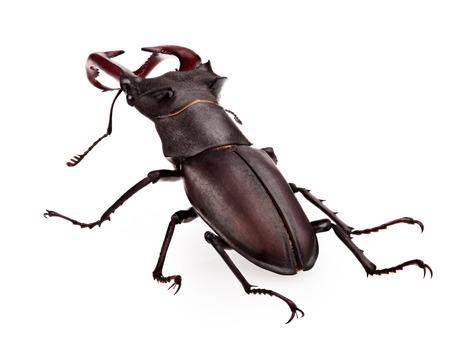 escarabajo: foto de primer plano de gran ciervo volante (Lucanus cervus) Foto de archivo