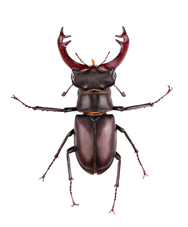 close-up photo of big stag-beetle (Lucanus cervus) photo