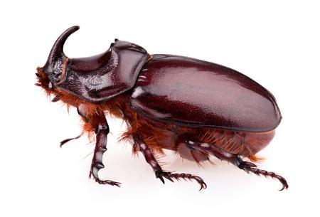 Rhinoceros beetle isolated on a white background Stock Photo