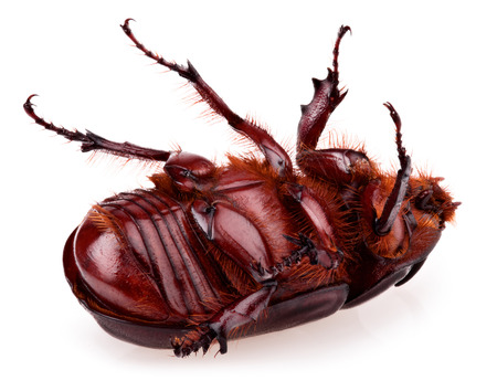 oryctes: Rhinoceros beetle isolated on a white background. head over heels Stock Photo