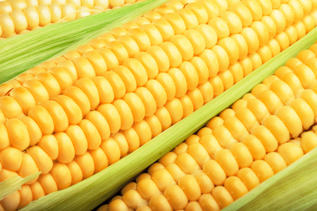 corn cob between green leaves for you design photo