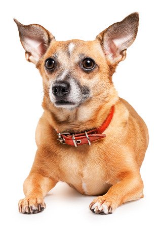 Russian toy terrier is a mini dog photo