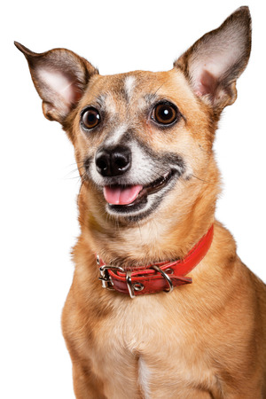 toy terrier: Russian toy terrier is a mini dog Stock Photo