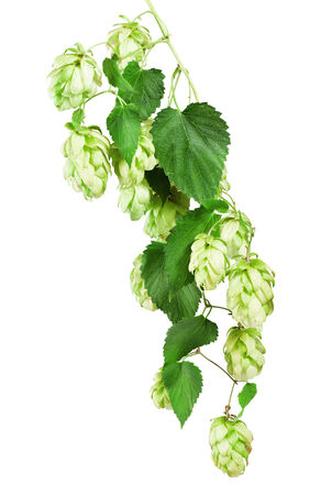 bitterness: Fresh Hop isolated on the white background. Clipping Path