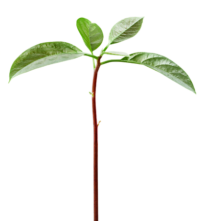 Young seedling growing. Sprout avocado. Clipping Path