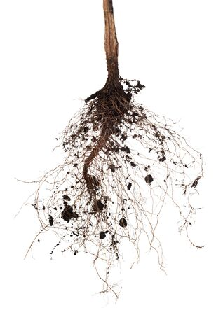 Roots of a tree on a white background. Elements for your design Stock Photo