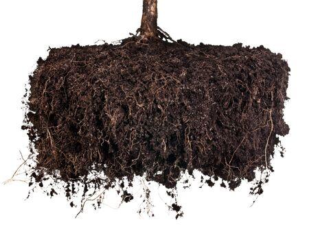 raices de plantas: Ra�ces de un �rbol sobre un fondo blanco. Elementos para su dise�o Foto de archivo