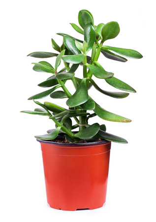 crassula ovata: Dollar plant or money tree cutout on white background. Crassula Stock Photo
