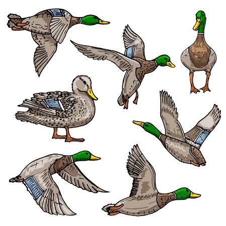 Mallard duck vector sketch wild bird icon 向量圖像