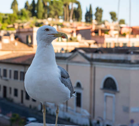 A seagull is sitting on a ledge with Palatine Hill in the background Reklamní fotografie