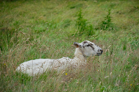 A resting Sheep in a meadow near the South Downs West Sussex
