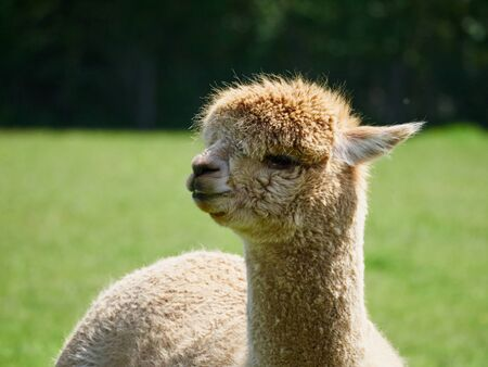 Portrait of an Alpaca near the South Downs West Sussex Stock Photo