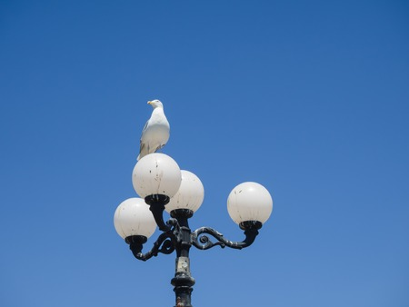 A Herring Gull perched on top of a street lamp