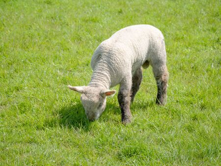 A single spring Lamb grazing in a meadow full of rich green grass