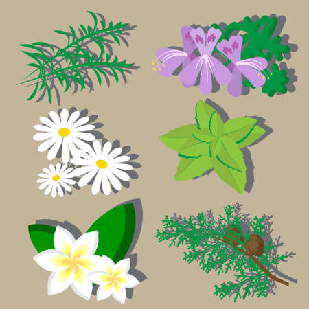 cypress: vector set of six flowers and plants for aromatherapy such us rosemary, geranium, chamomile, peppermint, plumeria, cypress