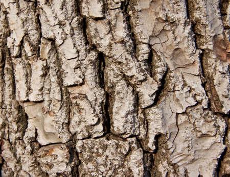 walnut tree - skin of old tree photo