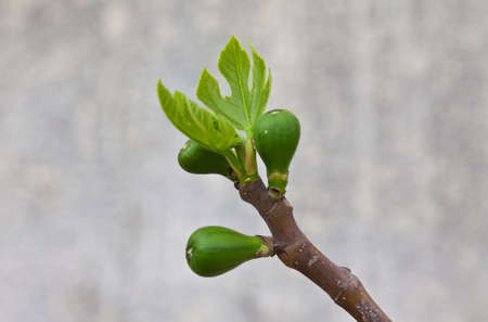 three young figs is born in early spring