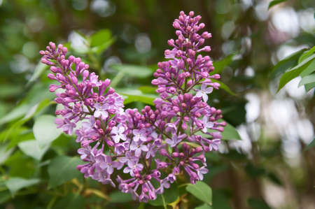 lilac tree starting flowering in garden - spring photo