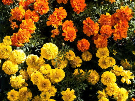 botanica: yellow and orange tagetes side by side