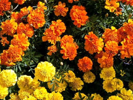 botanica: orange and yellow tagetes in home garden Stock Photo
