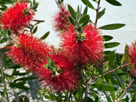 callistemon - bottlebrush tree and flowers Stock Photo